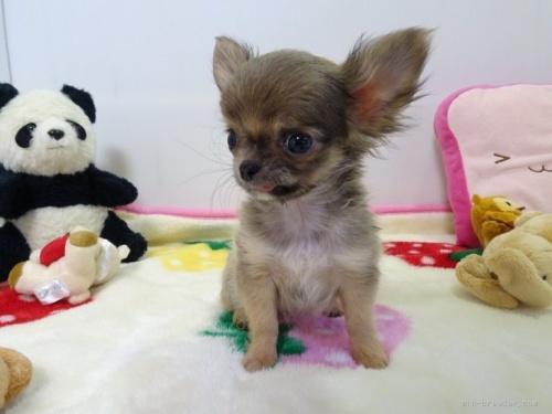 チワワ(スムース)の子犬(ID:1239111131)の2枚目の写真/更新日:2017-12-14