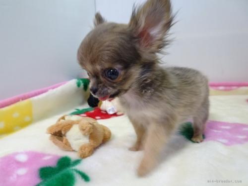 チワワ(スムース)の子犬(ID:1239111131)の3枚目の写真/更新日:2017-12-14
