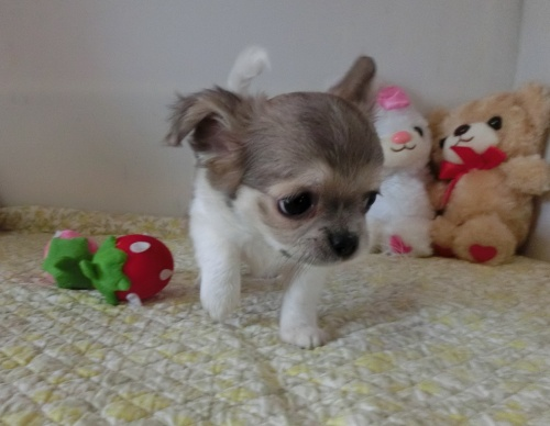 チワワ(ロング)の子犬(ID:1239111132)の1枚目の写真/更新日:2019-07-21