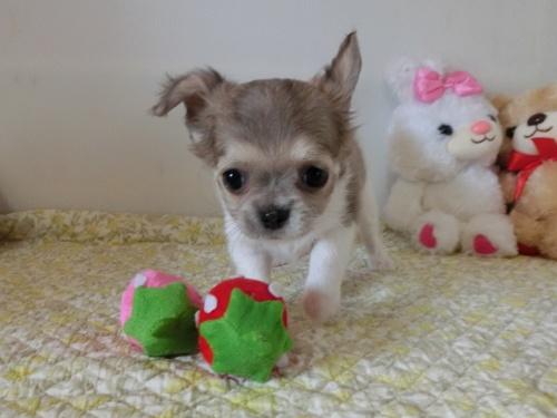チワワ(ロング)の子犬(ID:1239111132)の2枚目の写真/更新日:2019-07-21