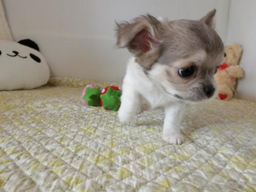 チワワ(ロング)の子犬(ID:1239111132)の3枚目の写真/更新日:2019-07-21