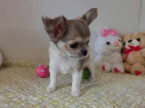 チワワ(ロング)の子犬(ID:1239111132)の4枚目の写真/更新日:2019-07-21