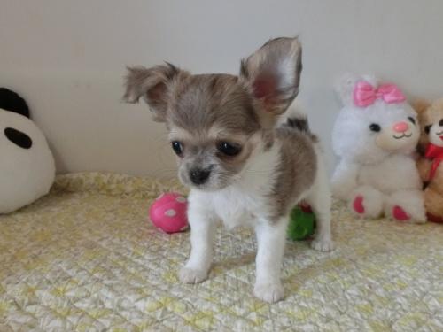 チワワ(ロング)の子犬(ID:1239111132)の5枚目の写真/更新日:2019-07-21