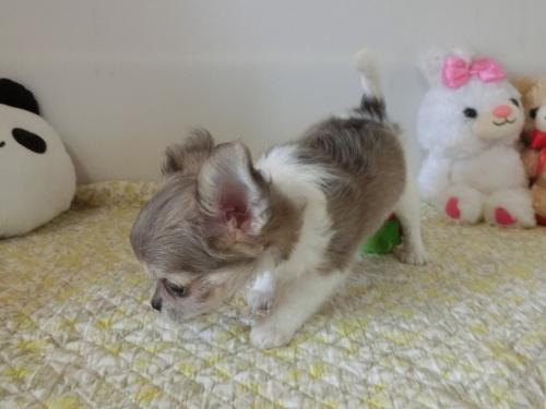 チワワ(ロング)の子犬(ID:1239111132)の6枚目の写真/更新日:2019-07-21