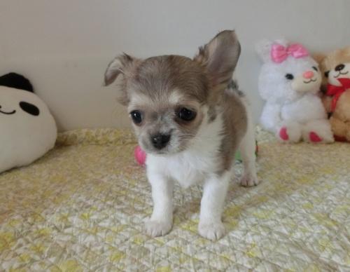 チワワ(ロング)の子犬(ID:1239111132)の7枚目の写真/更新日:2019-07-21