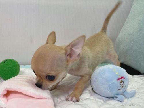 チワワ(ロング)の子犬(ID:1239111133)の4枚目の写真/更新日:2019-08-17