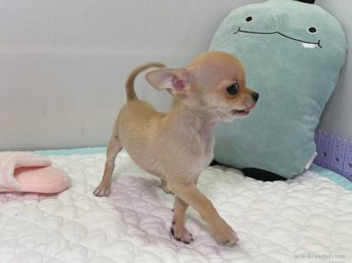 チワワ(ロング)の子犬(ID:1239111133)の5枚目の写真/更新日:2019-08-17