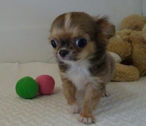 チワワ(ロング)の子犬(ID:1239111134)の1枚目の写真/更新日:2019-07-30