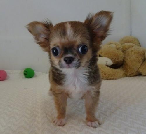 チワワ(ロング)の子犬(ID:1239111134)の3枚目の写真/更新日:2019-07-30