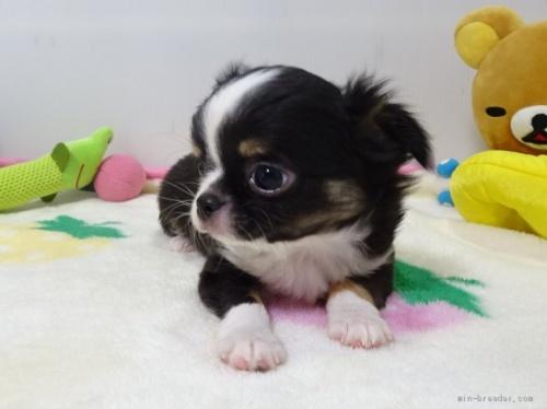 ミックスの子犬(ID:1239111135)の3枚目の写真/更新日:2017-12-14