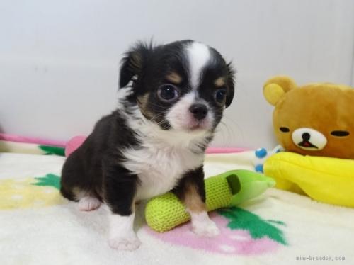 ミックスの子犬(ID:1239111135)の4枚目の写真/更新日:2017-12-14