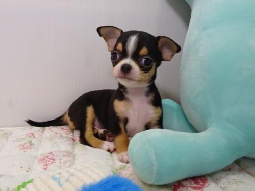 チワワ(ロング)の子犬(ID:1239111136)の2枚目の写真/更新日:2018-01-14
