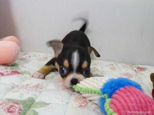 チワワ(ロング)の子犬(ID:1239111136)の3枚目の写真/更新日:2018-01-14