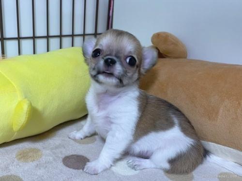 チワワ(スムース)の子犬(ID:1239111140)の2枚目の写真/更新日:2018-03-23