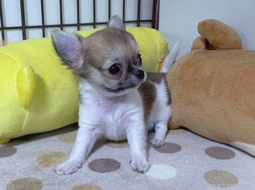 チワワ(スムース)の子犬(ID:1239111140)の3枚目の写真/更新日:2018-03-23