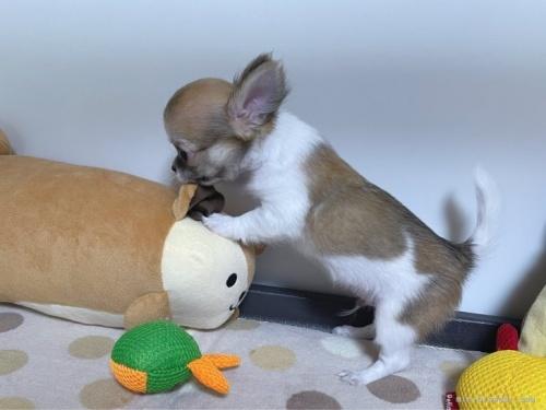 チワワ(スムース)の子犬(ID:1239111140)の4枚目の写真/更新日:2018-03-23