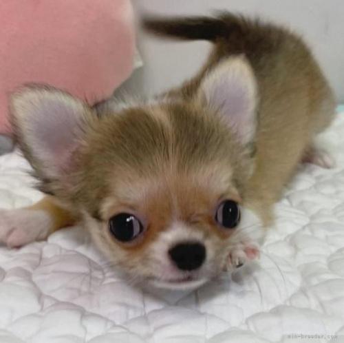 チワワ(ロング)の子犬(ID:1239111142)の1枚目の写真/更新日:2018-03-19