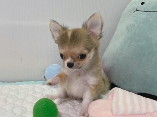 チワワ(ロング)の子犬(ID:1239111142)の3枚目の写真/更新日:2018-03-19