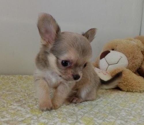 チワワ(ロング)の子犬(ID:1239111144)の1枚目の写真/更新日:2019-08-05