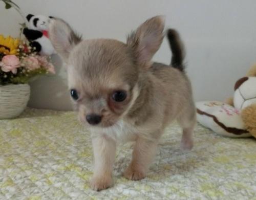 チワワ(ロング)の子犬(ID:1239111144)の2枚目の写真/更新日:2019-08-05