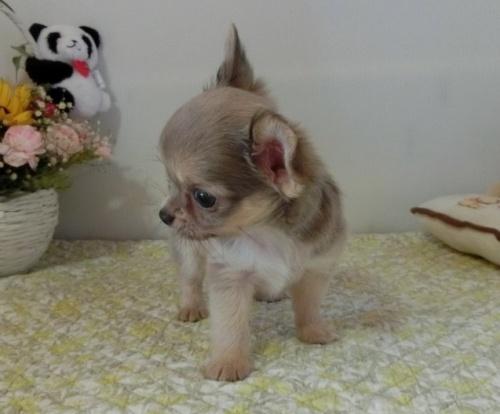 チワワ(ロング)の子犬(ID:1239111144)の3枚目の写真/更新日:2019-08-05