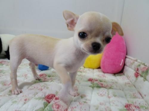 チワワ(ロング)の子犬(ID:1239111145)の1枚目の写真/更新日:2018-05-20