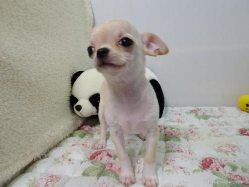 チワワ(ロング)の子犬(ID:1239111145)の2枚目の写真/更新日:2018-05-20