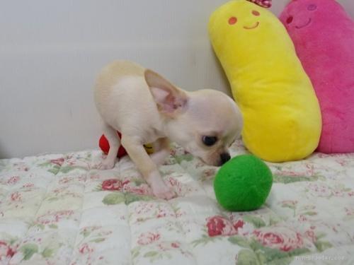 チワワ(ロング)の子犬(ID:1239111145)の3枚目の写真/更新日:2018-05-20