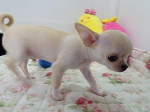 チワワ(ロング)の子犬(ID:1239111145)の4枚目の写真/更新日:2018-05-20