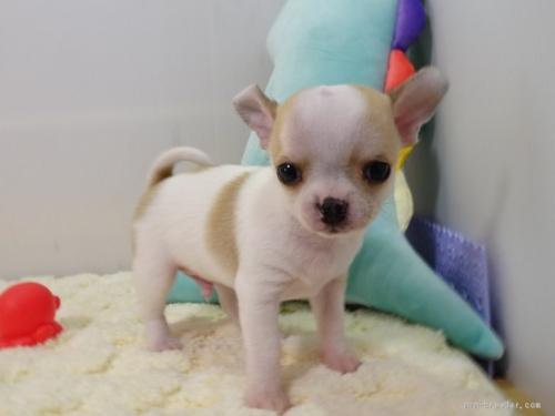 チワワ(ロング)の子犬(ID:1239111146)の1枚目の写真/更新日:2018-05-20