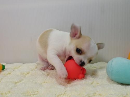 チワワ(ロング)の子犬(ID:1239111146)の2枚目の写真/更新日:2018-05-20