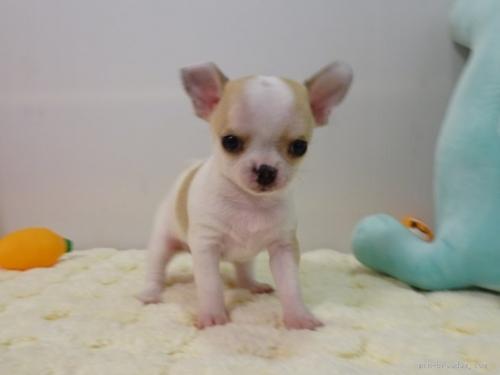 チワワ(ロング)の子犬(ID:1239111146)の3枚目の写真/更新日:2018-05-20