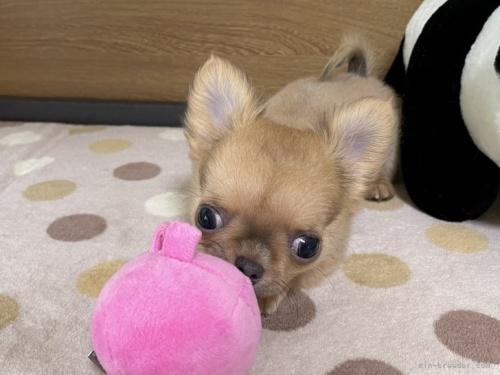 チワワ(ロング)の子犬(ID:1239111147)の4枚目の写真/更新日:2018-05-20