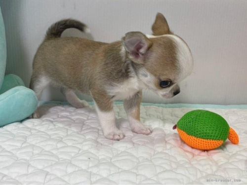 チワワ(ロング)の子犬(ID:1239111147)の5枚目の写真/更新日:2018-05-20