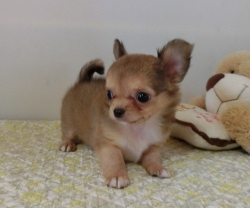 チワワ(ロング)の子犬(ID:1239111148)の1枚目の写真/更新日:2018-05-15