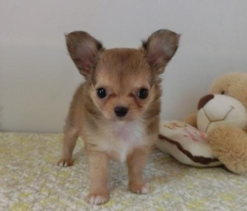 チワワ(ロング)の子犬(ID:1239111148)の2枚目の写真/更新日:2018-05-15