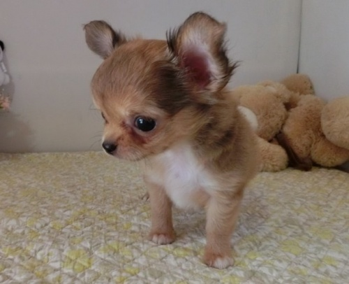 チワワ(ロング)の子犬(ID:1239111148)の3枚目の写真/更新日:2018-05-15