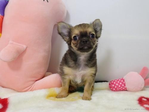 チワワ(ロング)の子犬(ID:1239111150)の1枚目の写真/更新日:2019-08-20