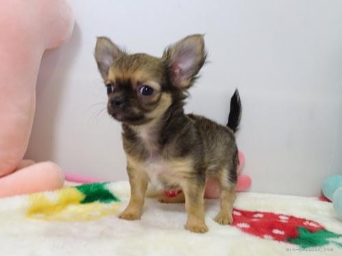 チワワ(ロング)の子犬(ID:1239111150)の2枚目の写真/更新日:2019-08-20