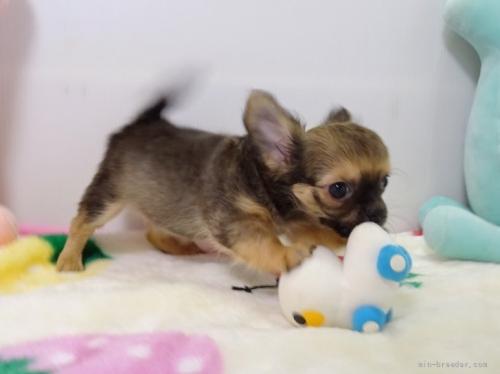 チワワ(ロング)の子犬(ID:1239111150)の4枚目の写真/更新日:2019-08-20