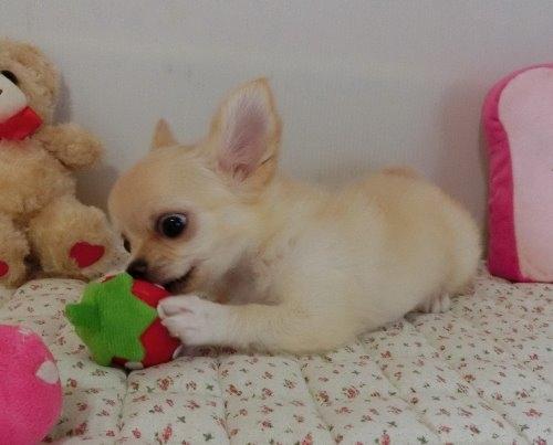 チワワ(ロング)の子犬(ID:1239111150)の8枚目の写真/更新日:2019-08-20