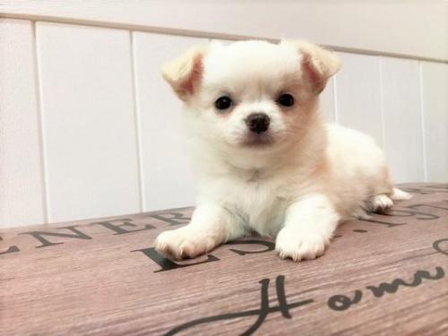 チワワ(ロング)の子犬(ID:1239211129)の1枚目の写真/更新日:2018-06-25