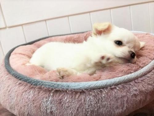 チワワ(ロング)の子犬(ID:1239211129)の2枚目の写真/更新日:2018-06-25