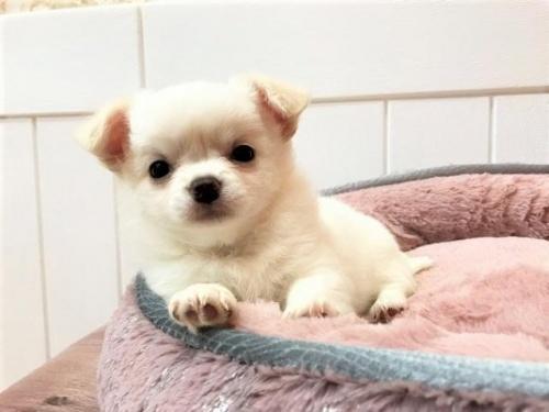 チワワ(ロング)の子犬(ID:1239211129)の3枚目の写真/更新日:2018-06-25