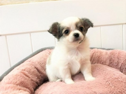 チワワ(ロング)の子犬(ID:1239211131)の1枚目の写真/更新日:2018-06-25