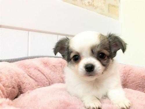 チワワ(ロング)の子犬(ID:1239211131)の2枚目の写真/更新日:2018-06-25