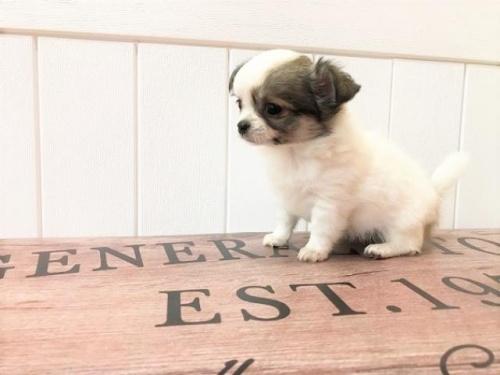 チワワ(ロング)の子犬(ID:1239211131)の3枚目の写真/更新日:2018-06-25