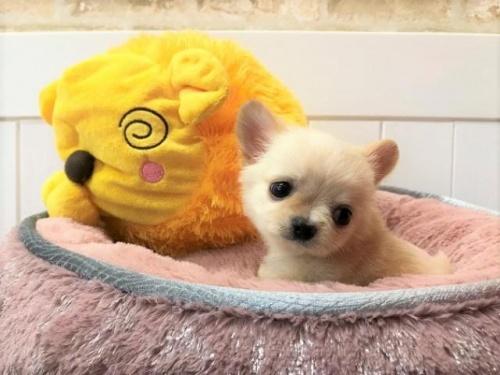 チワワ(ロング)の子犬(ID:1239211132)の1枚目の写真/更新日:2018-06-25