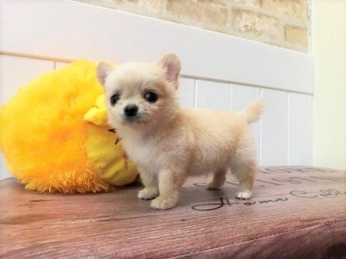 チワワ(ロング)の子犬(ID:1239211132)の2枚目の写真/更新日:2018-06-25