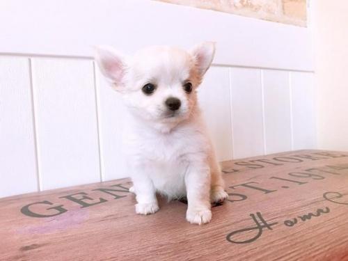 チワワ(ロング)の子犬(ID:1239211137)の1枚目の写真/更新日:2018-09-12